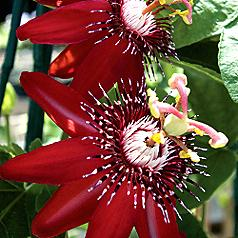 Passiflora Sherry