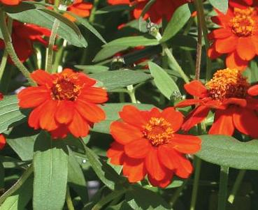 Zinnia Profusion Knee High Red