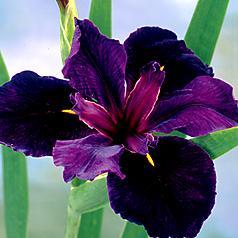 Louisian Iris Black Gamecock