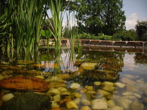 Pond with Koi and Tadpoles in Park Seed's Garden