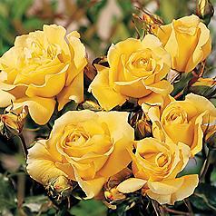 Rose 'Sun Flare'