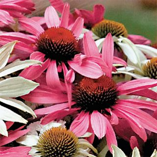 Bees Love Coneflowers