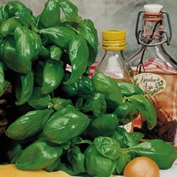 Basil Genovese is one of the most basic culinary herbs