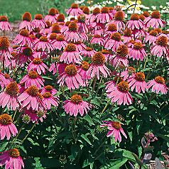 Echinacea Kims Knee High is a beautiful pink Echinacea with great drought-tolerance