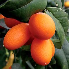 Citruskumquatnagami