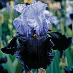 Iris_dandgerous_mood