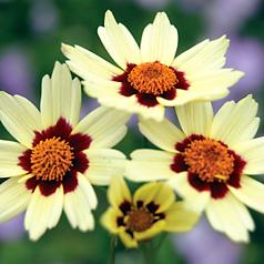 Coreopsis Snowberry features elegant creamy blooms with maroon eyes and orange centers